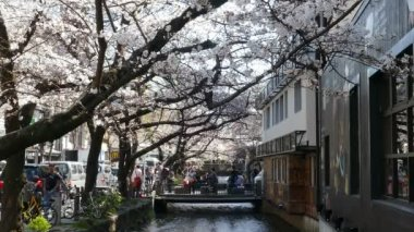 KYOTO, JAPAN - March 28, 2015: Cherry blossom on river side in Kyoto. — Stock Video