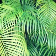 Close-up of palm tree leaves — Stock Photo #52625545