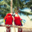 Couple of red parrots sitting on perch — Stock Photo #52694965
