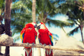 Couple of red parrots sitting on perch — Stock Photo