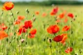 Summer blooming poppy field — Stock Photo