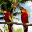 Close up of two red parrots sitting on perch — Stock Video #61186311