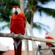Close up of two red parrots sitting on perch — Stock Video #61186481