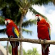 Close up of two red parrots sitting on perch — Stock Video #61186491