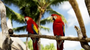 Close up of two red parrots sitting on perch — Stock Video