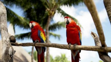 Close up of two red parrots sitting on perch — Vídeo Stock