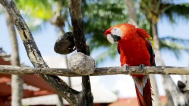 Close up of red parrot sitting on perch — Vídeo Stock
