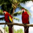 Close up of two red parrots sitting on perch — Stock Video #61190649