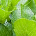 Green leafs — Stock Photo #70400823