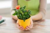 Cerca de las manos de mujer con arbusto de rosas en maceta — Foto de Stock