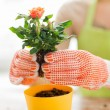 Close up of woman hands planting roses in pot — Stock Photo #73170639
