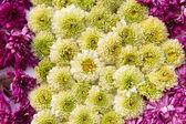 Beautiful chrysanthemums flowers — Stock Photo