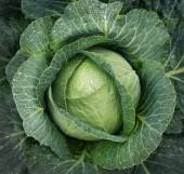 Cabbage growing. Top view — Stock Photo