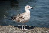 Big Grey Seagull — Stock Photo