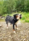 Cute black dog getting dry — Stock Photo