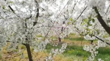 Beautiful and colorful orchard in the spring — Stock Video