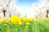 Fresh yellow dandelion in the orchard — Stock Photo