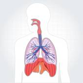 Respiratory system lungs vector human body illustration — Stock Vector