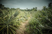Pineapple farm in vintage color style — Stock Photo