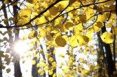 Autumnal cottonwood forest — Stock Photo