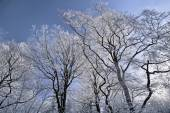Tree with hoar frost — Stock Photo