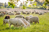 Stádo ovcí v pohoří taunus — Stock fotografie