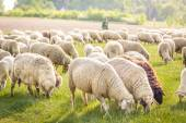 Flock Of Sheep in the Taunus mountains — Stock Photo