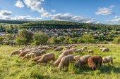 Rebanho de ovelhas nas montanhas taunus — Fotografia Stock