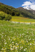 Flower meadow in South Tyrol — Stock Photo