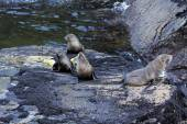 Seals in the Milford Sound — Stock Photo