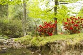 River in a garden with red azaleas — 图库照片