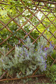 Lavender growing thought a trellis — Stock Photo