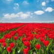 Red tulip fields — Stock Photo #65883615