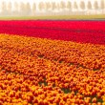 Colorful tulip field — Stock Photo #65884047