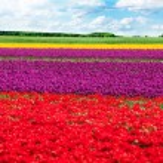 Colorful tulip field — Stock Photo #65885179