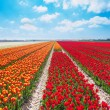 Rows of red and orange tulips — Stock Photo #65885889