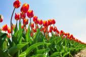 Oranžové tulipány v slunci — Stock fotografie