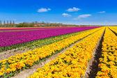 Yellow and purple tulip rows — Foto Stock
