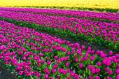 Field of yellow and purple tulips — Stock Photo
