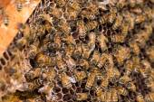 Bees working in their hive — Stock Photo