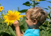 Inquisitive child considers sunflower in the field — Zdjęcie stockowe