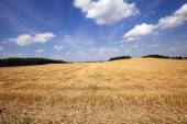 Slanted wheat — Stock Photo