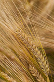 Ripened ears of cereals — Stock Photo