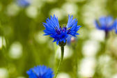 Cornflowers photographed by a close up — Stock Photo