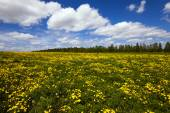 Yellow dandelions in the spring — Stock Photo