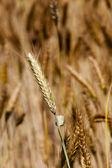 Ripened cereals — Stock Photo