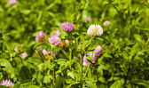 Flowering clover   — Stock Photo