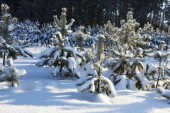 Fir-tree in the winter   — Foto de Stock