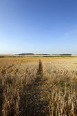Path in the agricultural field — Stock Photo