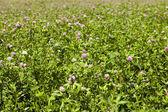 Flowering clover — Stock Photo